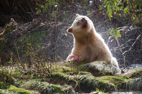 A Spirit Bear shaking water from its white coat.