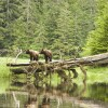 Grizzlies on log: Blondie and Predator