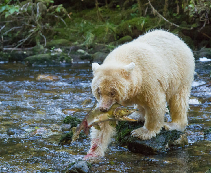 Spirit bear with a pink salmon in its mouth