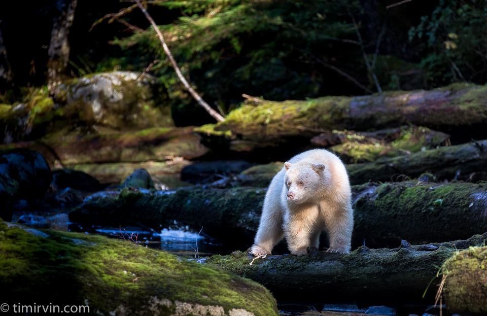 A male spirit bear standing on a mossy log in the Great Bear Rainforest