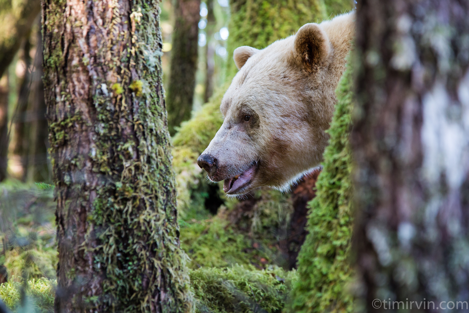 The head of a male spirit, or Kermode, bear visible among the trees within the forest