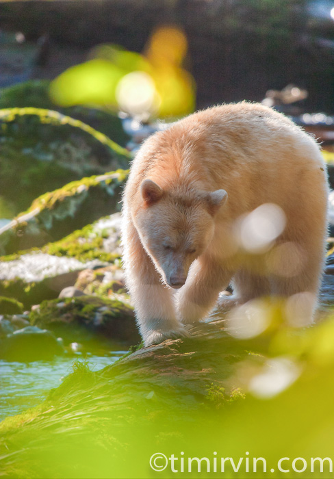 Spirit bear in warm light and hidden by leaves