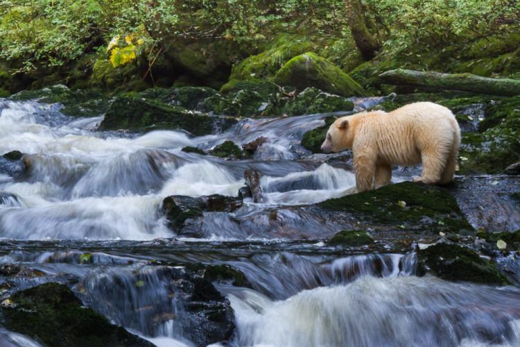 A spirit bear standing in a waterfall