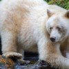 Spirit bear kneeling by salmon stream while watching for salmon