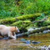 Spirit bear kneeling by salmon stream