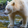 Spirit bear standing on a rock in a salmon stream