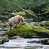 A spirit bear walking on a large boulder in a salmon stream