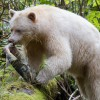 Spirit bear holding a chum salmon in its jaws