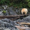 Spirit bear walking on a log on the shoreline in the Great Bear Rainforest