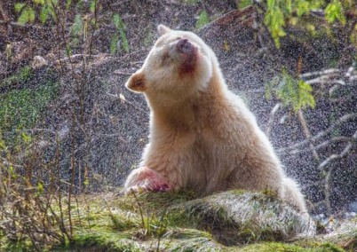 A spirit bear shakes water from its white fur after a salmon meal in the Great Bear Rainforest