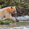Spirit bear resting by river with blood from salmon on fur around its mouth