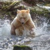 A spirit bear sprays water while chasing salmon in a stream