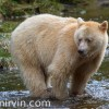 Spirit bear standing ankle deep in a salmon stream