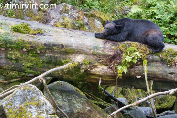 Black Bear sleeping on log