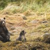 Grizzly mother & cub