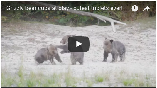 More salmon, more grizzly cubs at play