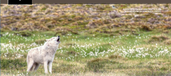 How to take a photo of an arctic wolf – in Canoe Roots Magazine