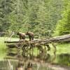 Grizzlies on log: Blondie and Predator