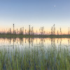 Black spruce reflected in pond at sunset in the Heart of the Boreal forest.
