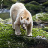 Spirit bear on the lookout for a salmon meal in the Great Bear Rainforest