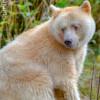 Spirit bear sitting by salmon stream